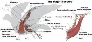 Bird Muscular System