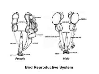 Bird Reproductive System and Bird Urogenital Systems